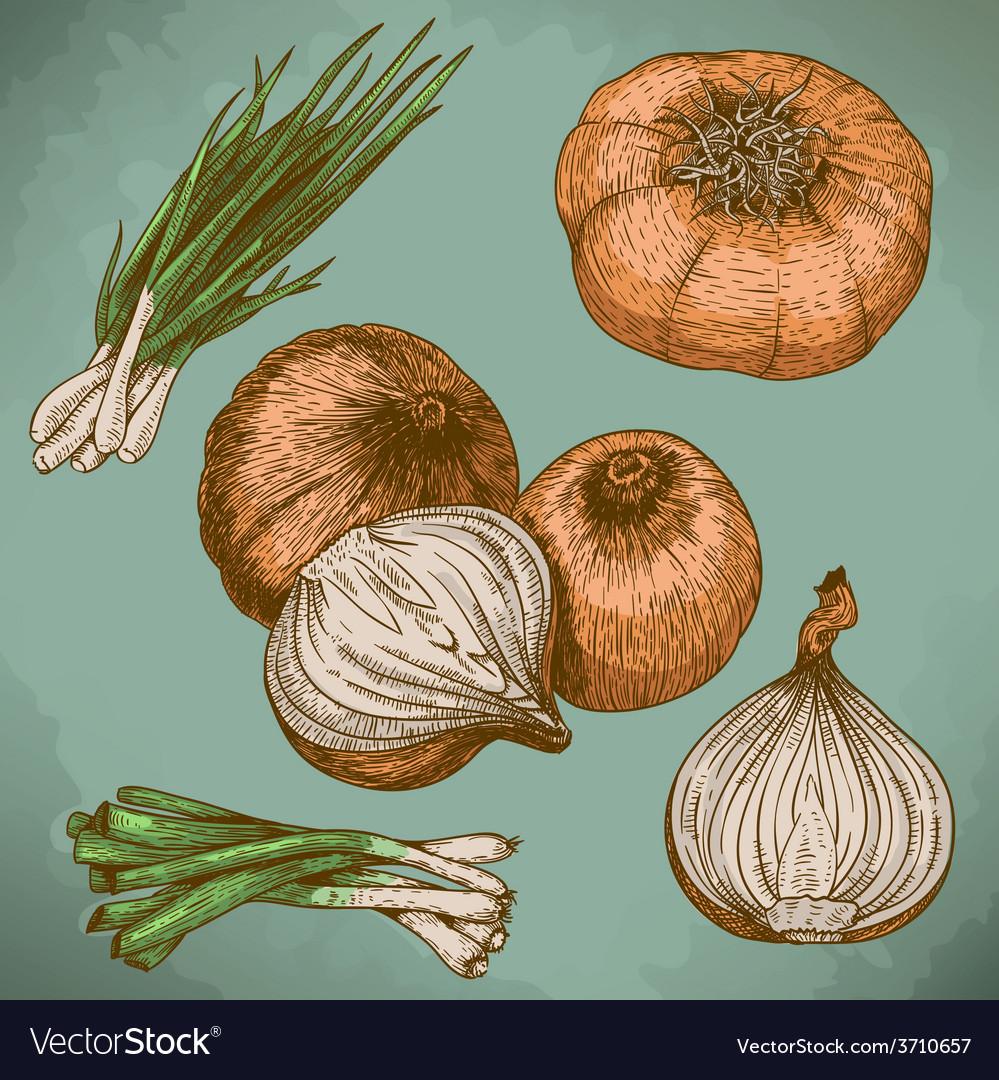 Engraving lots of onions retro vector