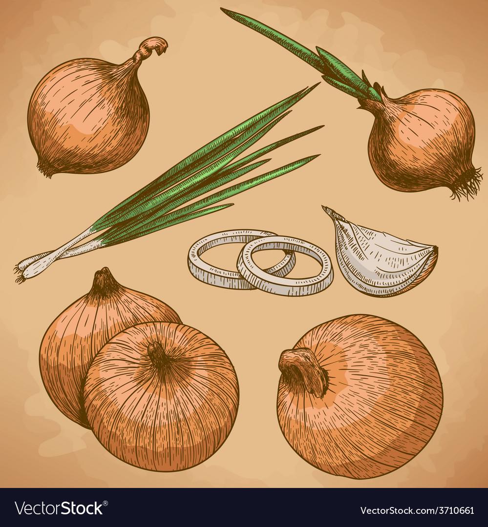 Engraving onion retro vector