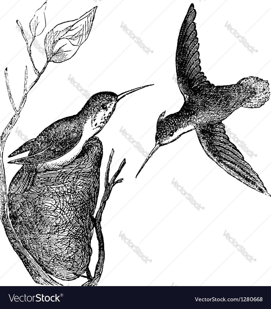Hummingbird vintage engraving vector