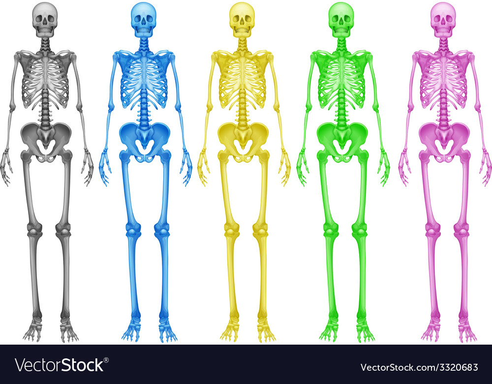 Coloured skeletons vector