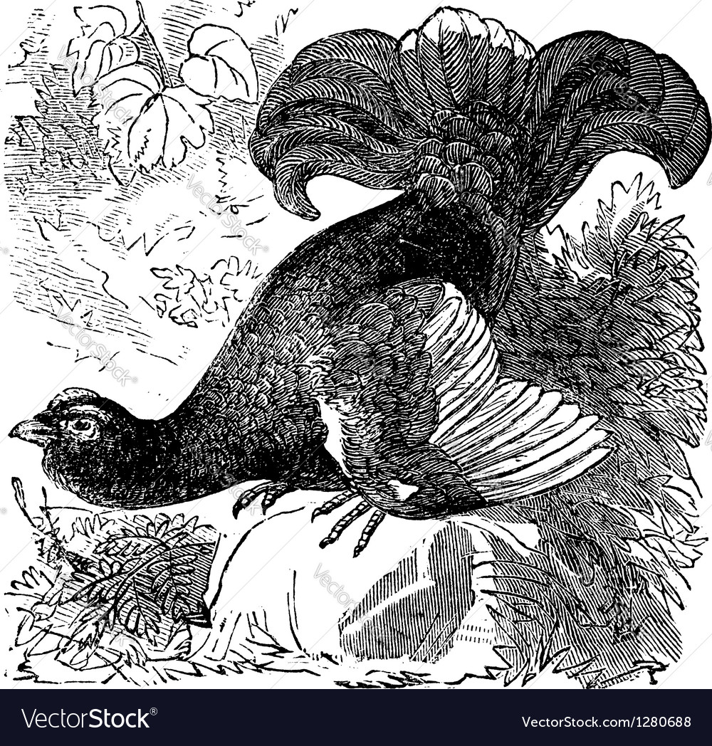 Black grouse vintage engraving vector