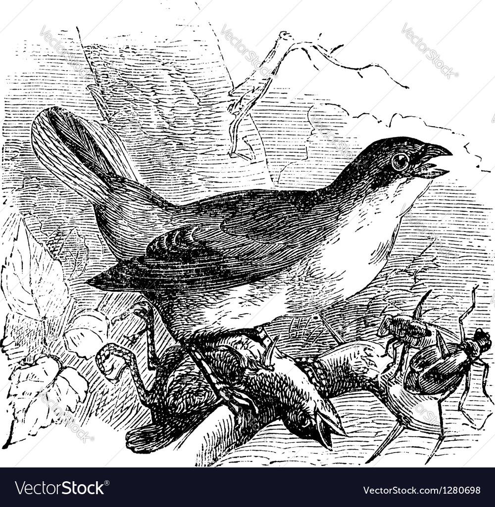 Shrike vintage engraving vector