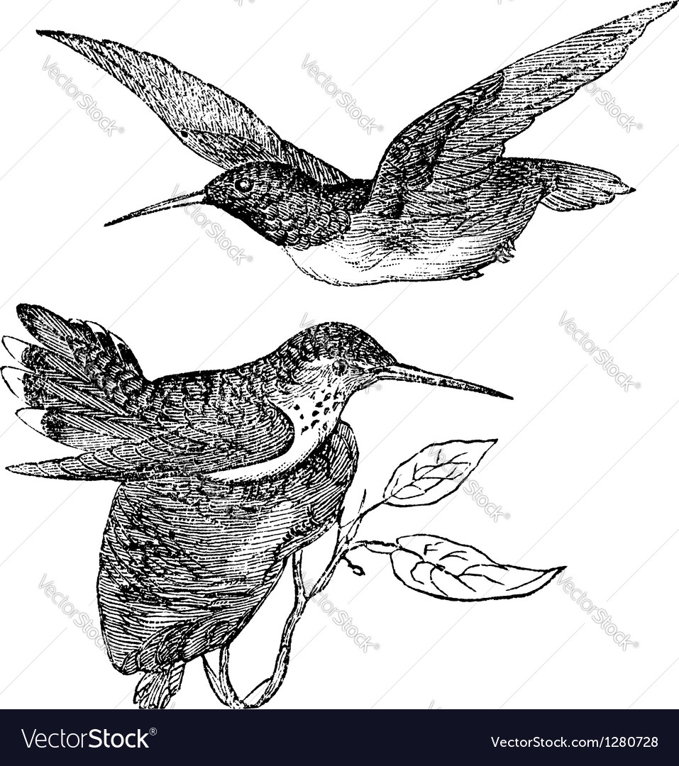Annas hummingbird vintage vector