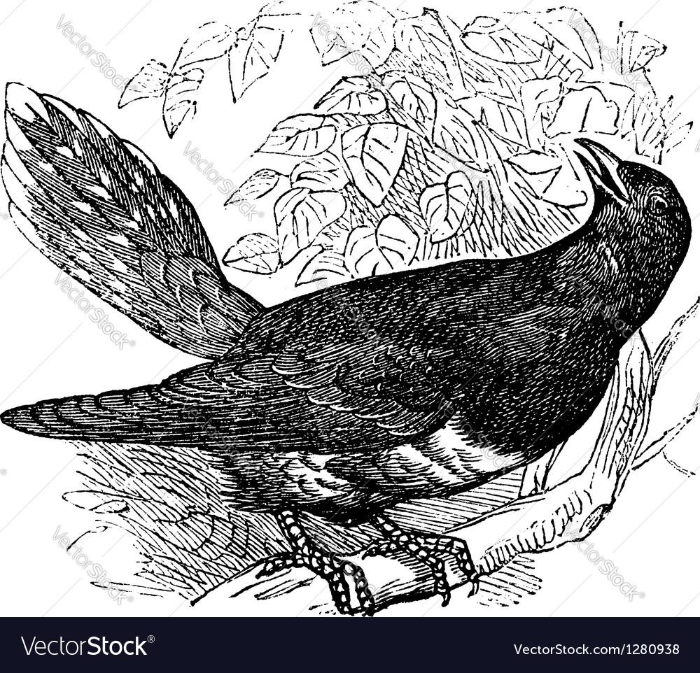 Common cuckoo vintage engraving vector