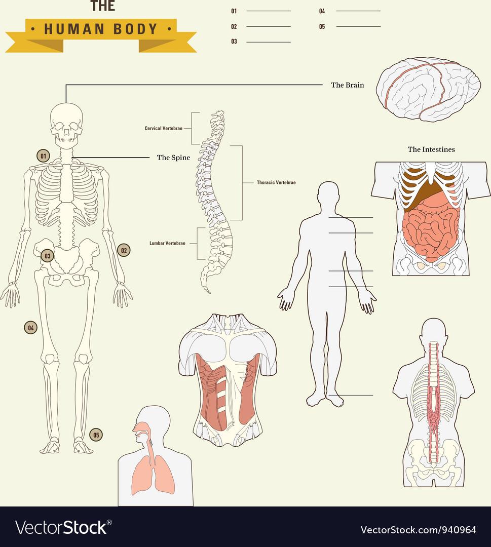 Human body anatomy vector