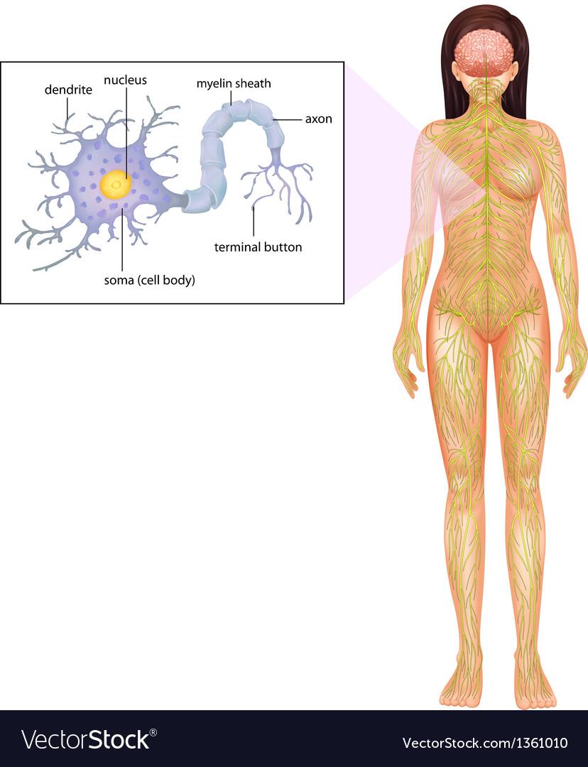 Female neuron vector