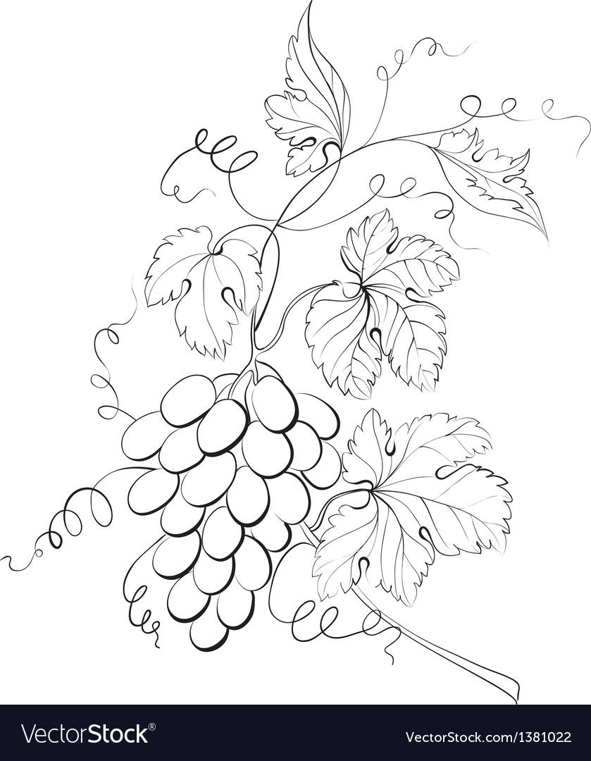 Grapes engraving vector