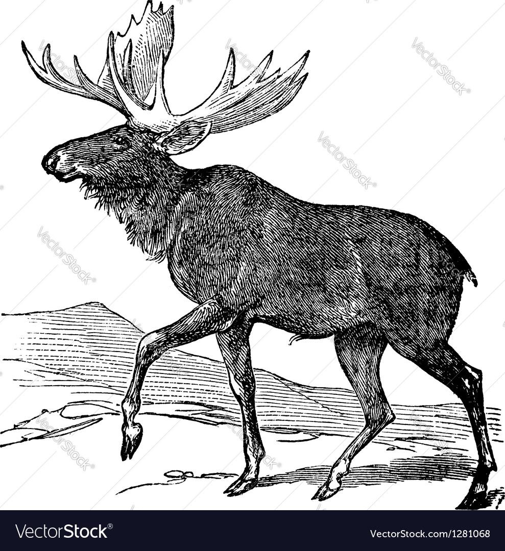 Moose vintage engraving vector