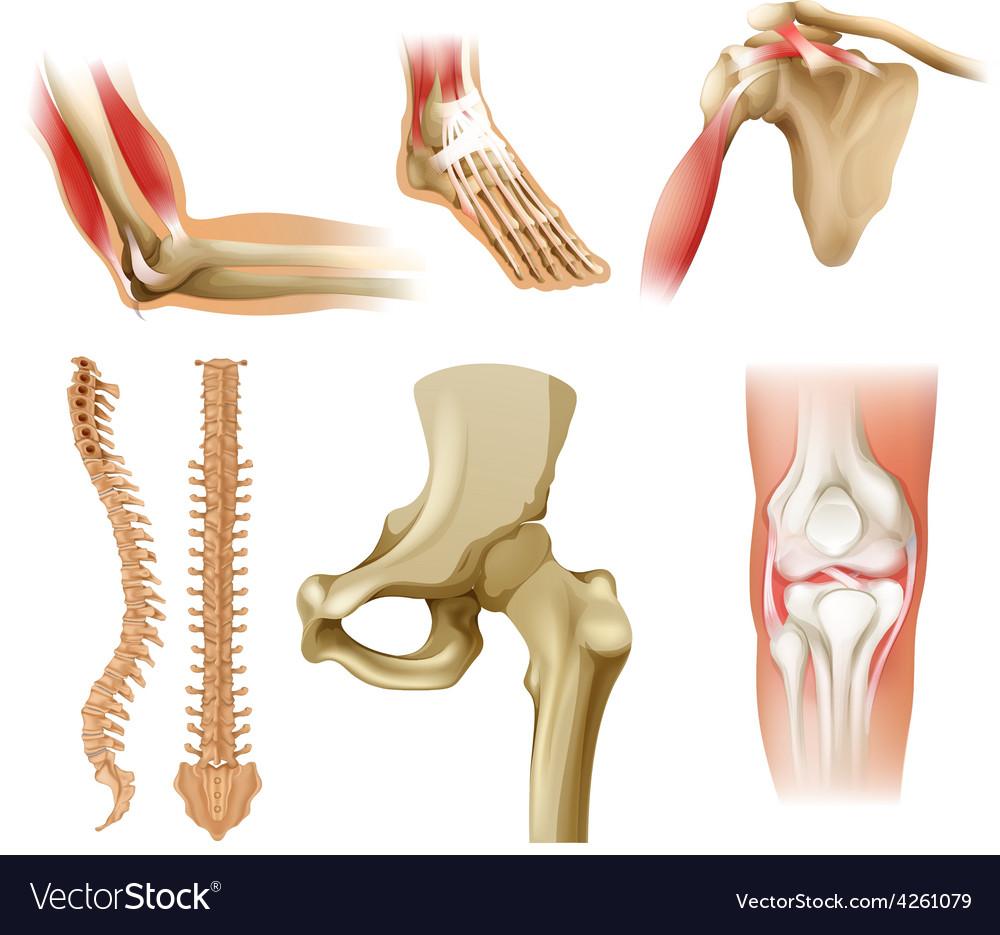 Different human bones vector