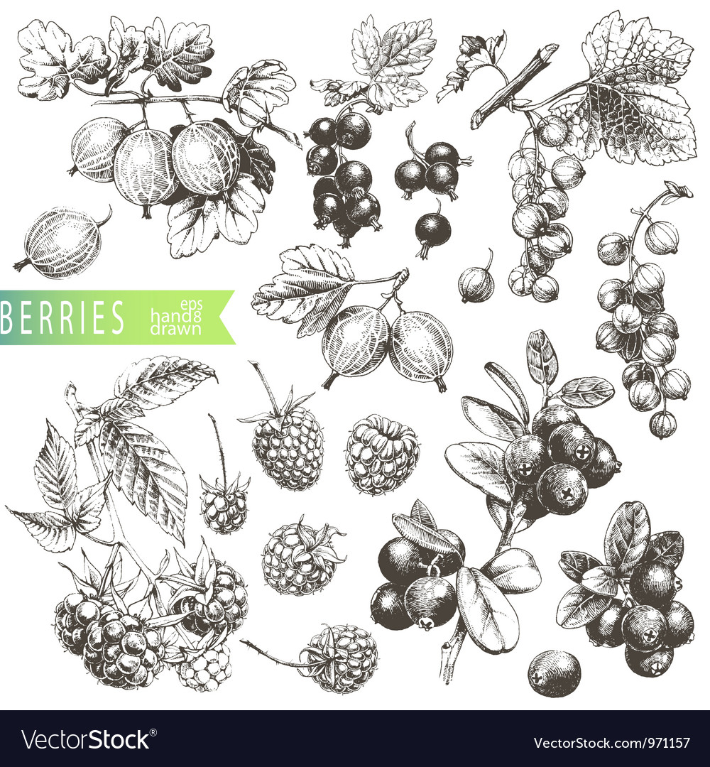 Berries vector