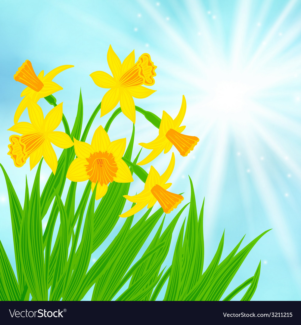 Spring card background with daffodils vector