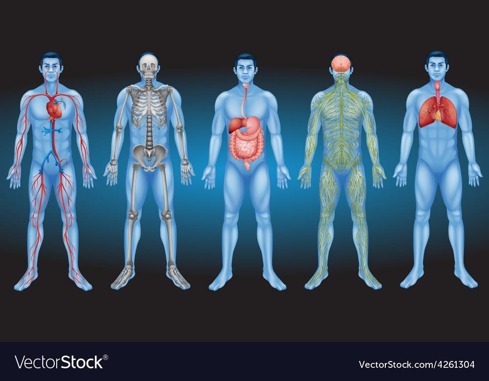Internal organs vector