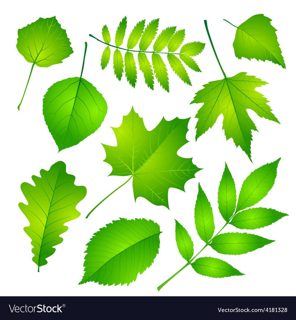 Green leaves set eps 10 vector