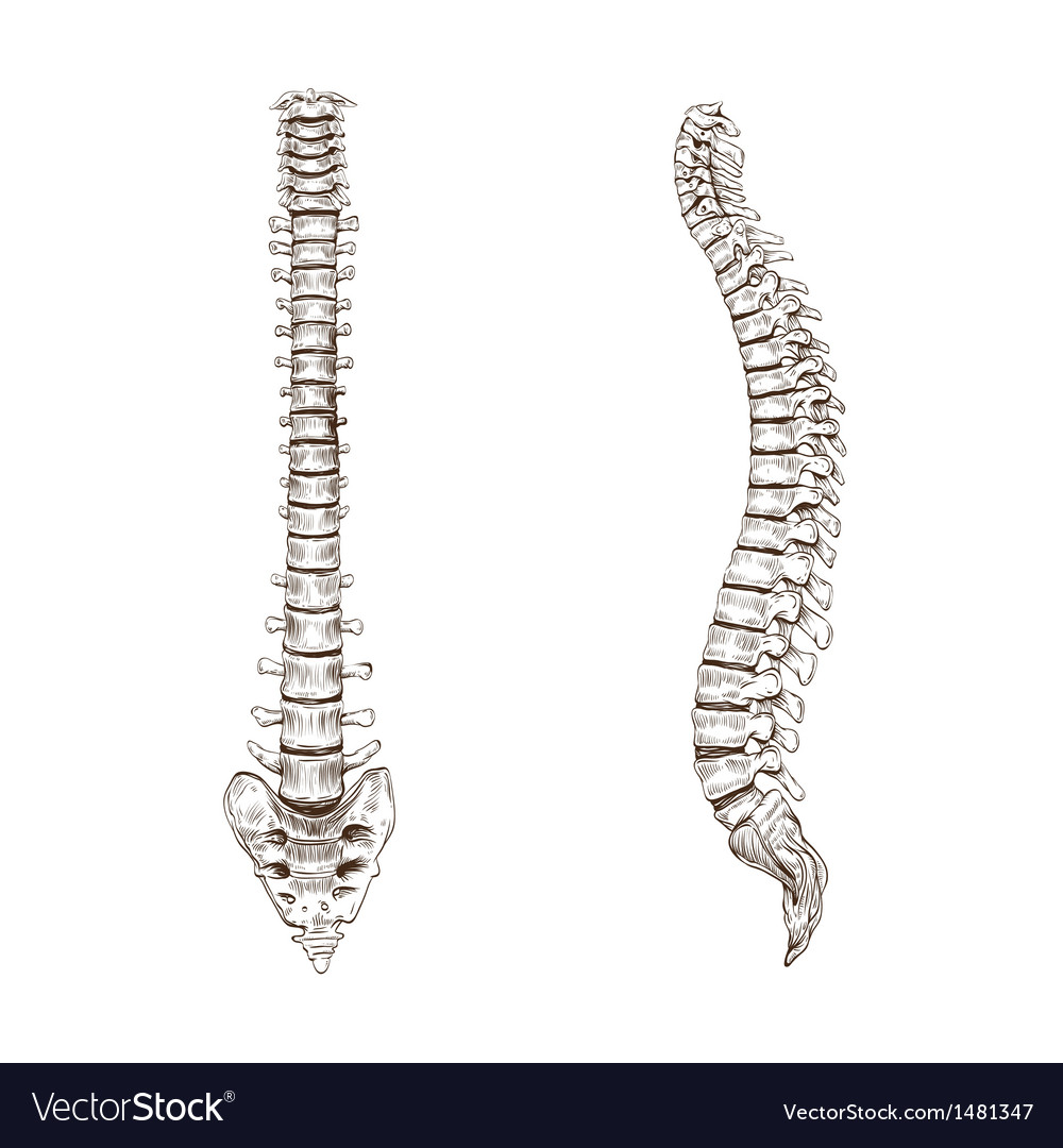 Spine isolated on a white backgrounds vector