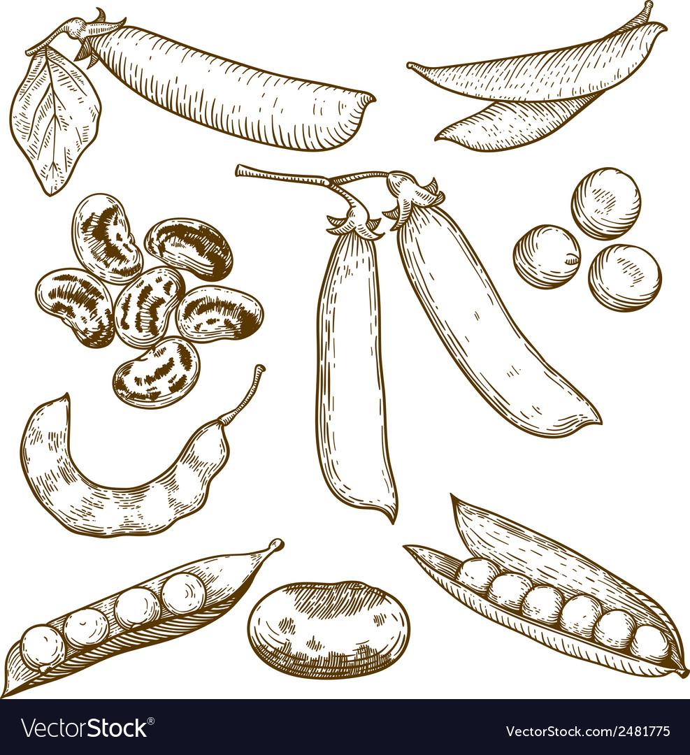 Engraving beans and peas vector