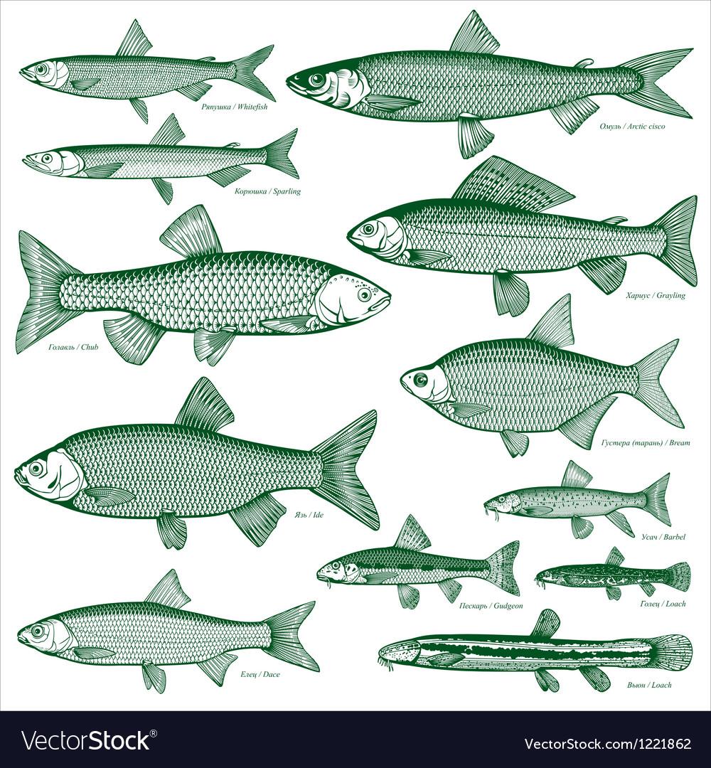 Fish freshwater vector