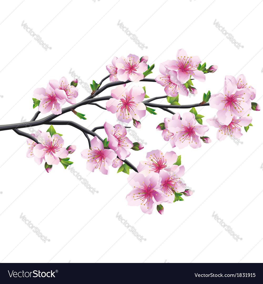 Cherry blossom japanese tree sakura vector