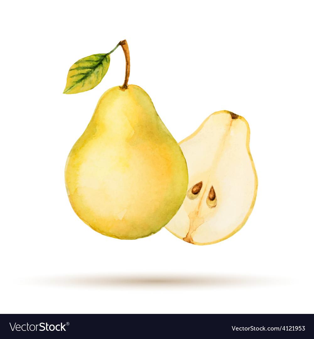 Pear hand drawn watercolor vector