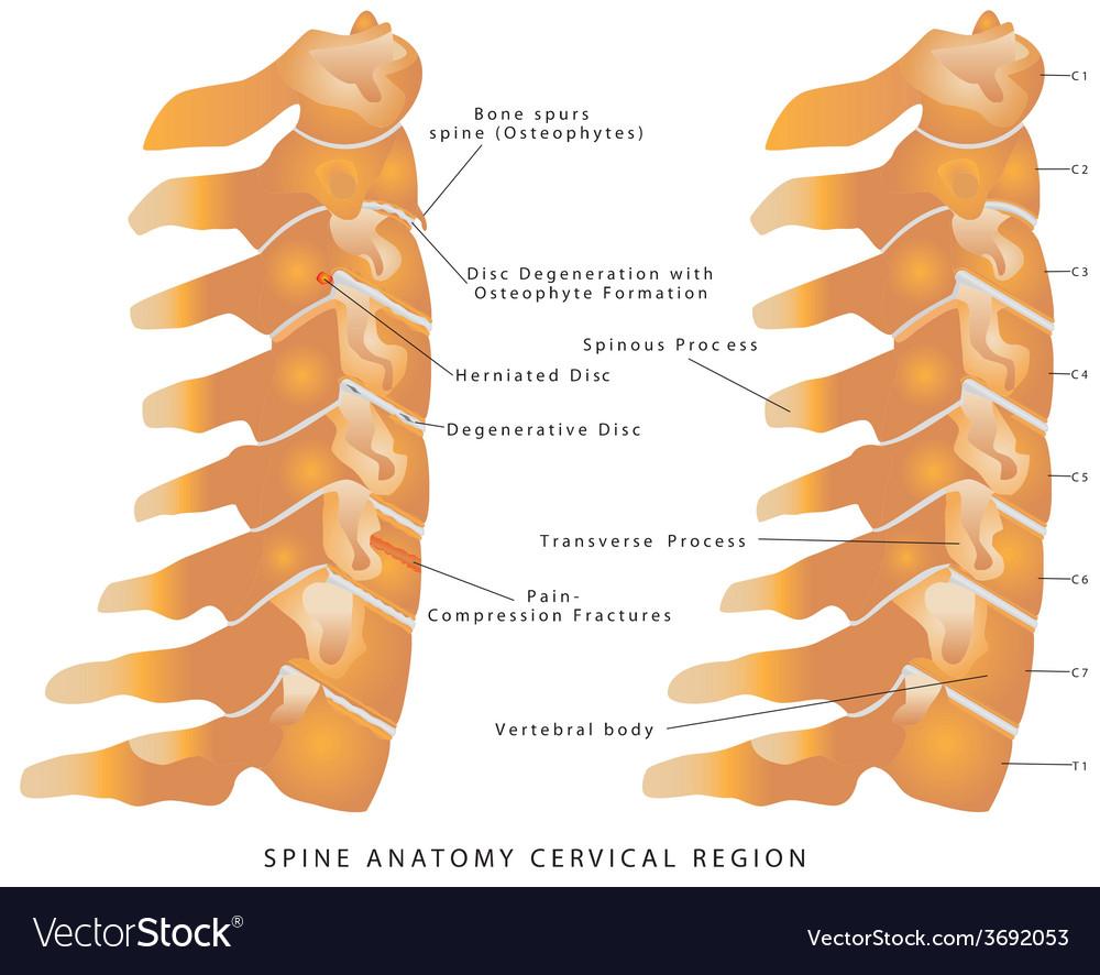 Cervical spine vector