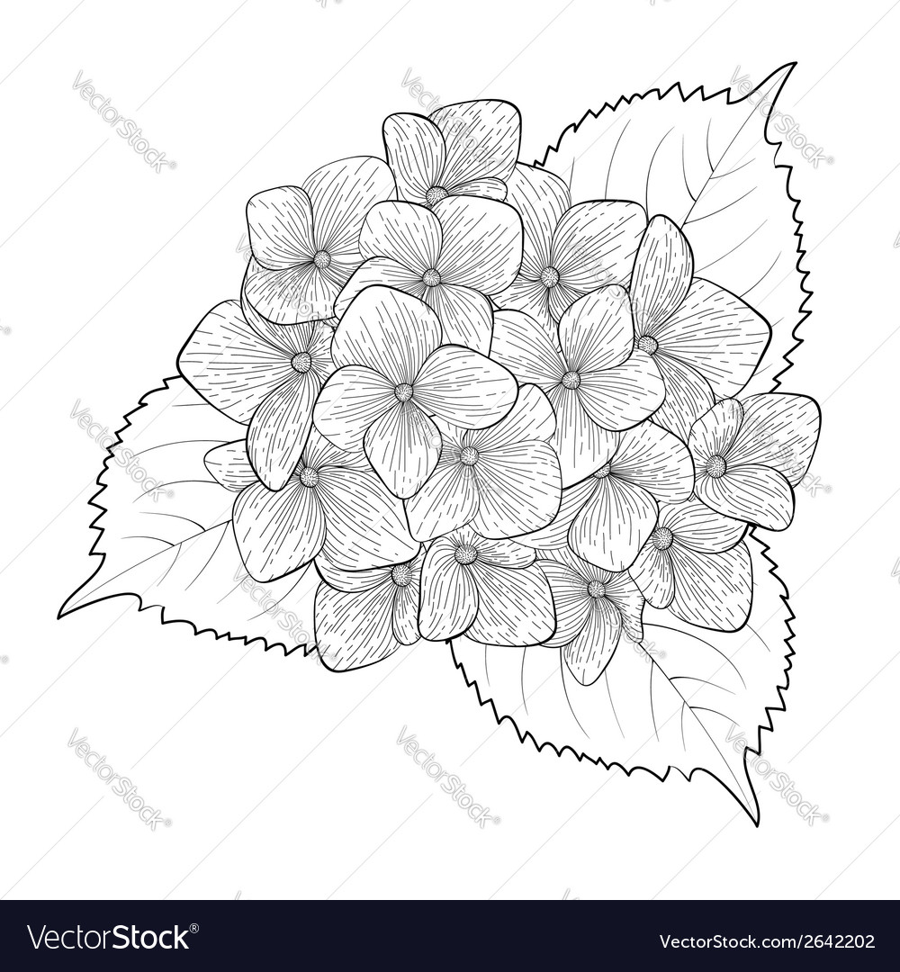 Black and white flower hydrangea isolated vector