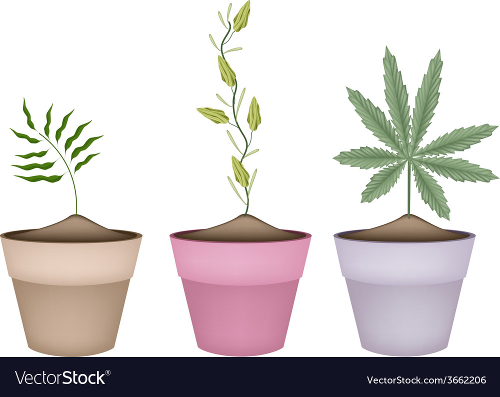 Shampoo ginger cardamom and cannabis plant in pot vector