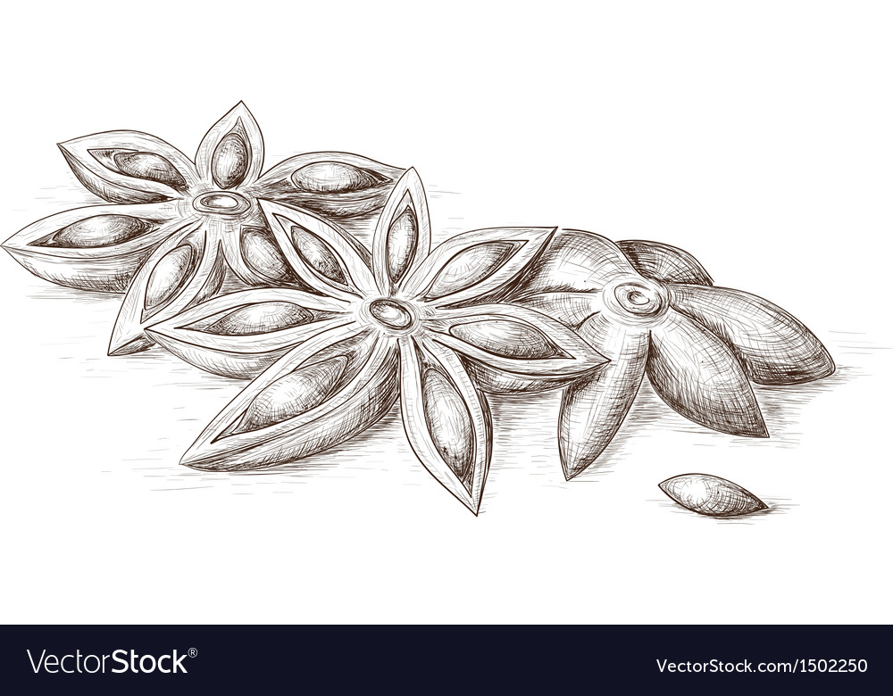 Hand drawn anise vector