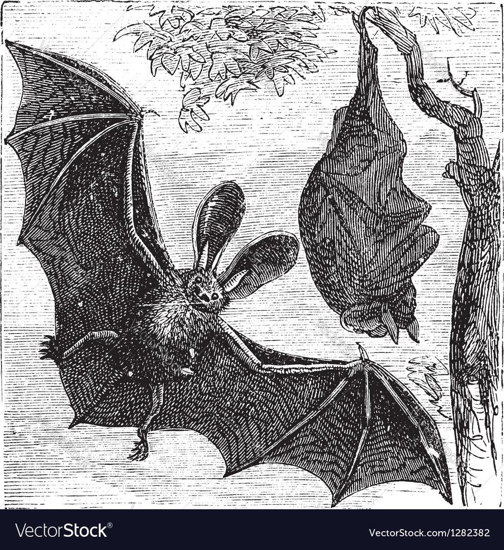Brown bat vintage engraved vector