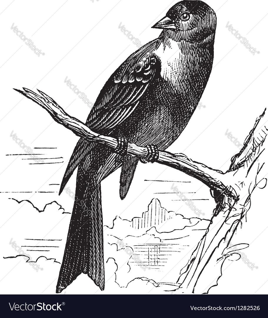 Ortolan bird vintage engraving vector