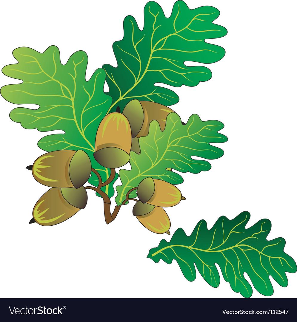 Oak acorns vector