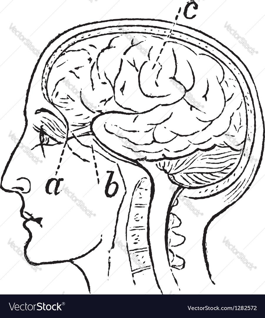 Optic nerve vintage engraved vector