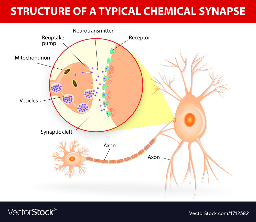 Structure of a typical chemical synapse neurotrans vector