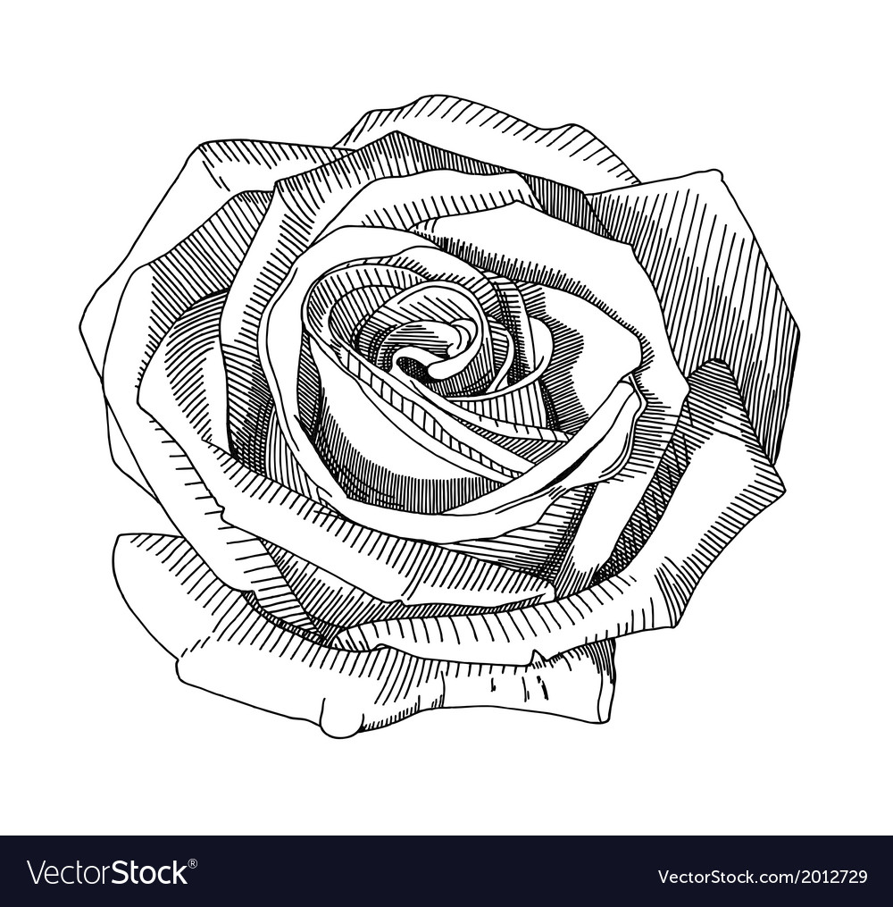 Hand draw black and white sketch ornate rose vector