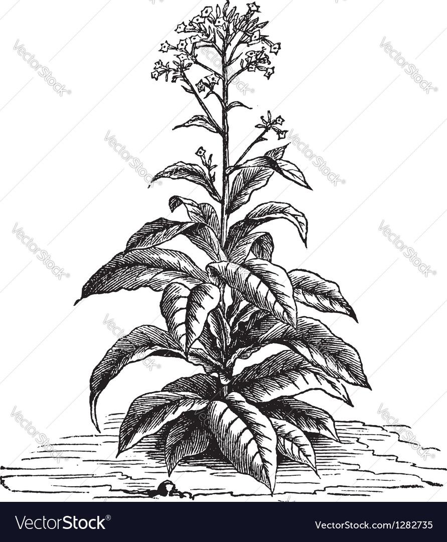 Tobacco plant vintage engraving vector