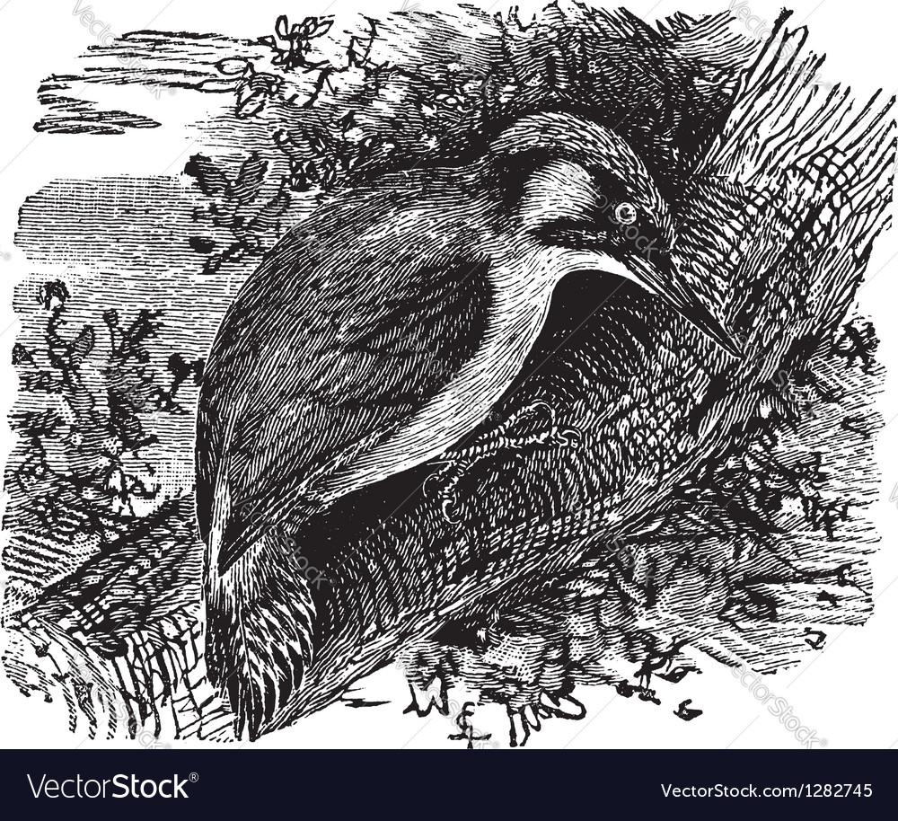 Woodpecker vintage engraving vector