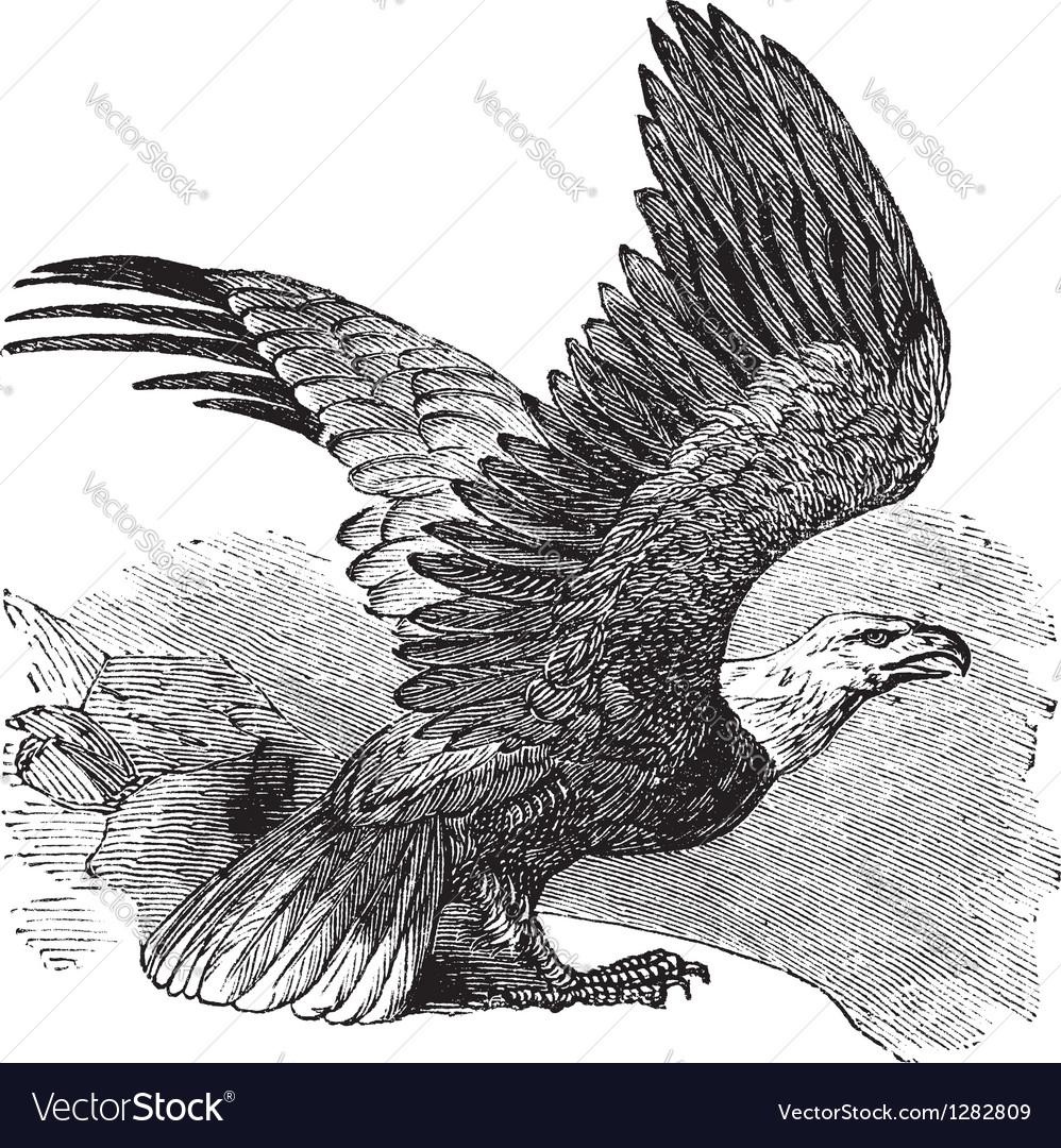 Bald eagle vintage engraving vector
