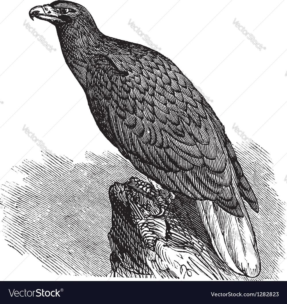 European eagle vintage engraving vector