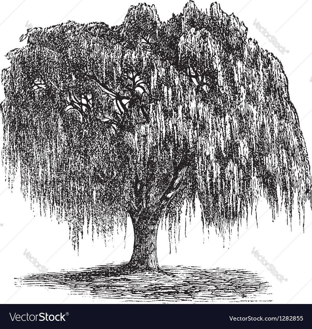 Babylon willow vintage engraving vector