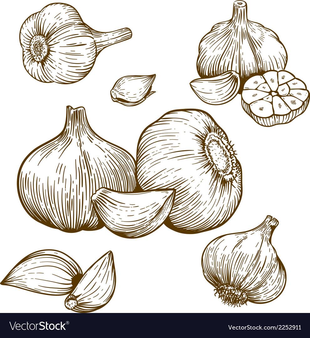 Engraving garlic vector