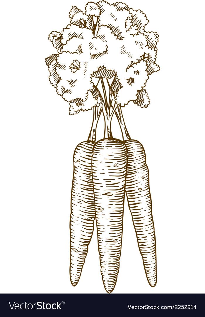 Engraving carrot vector