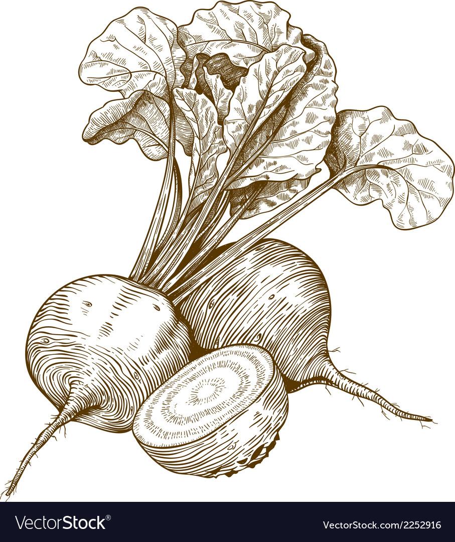 Engraving beet vector
