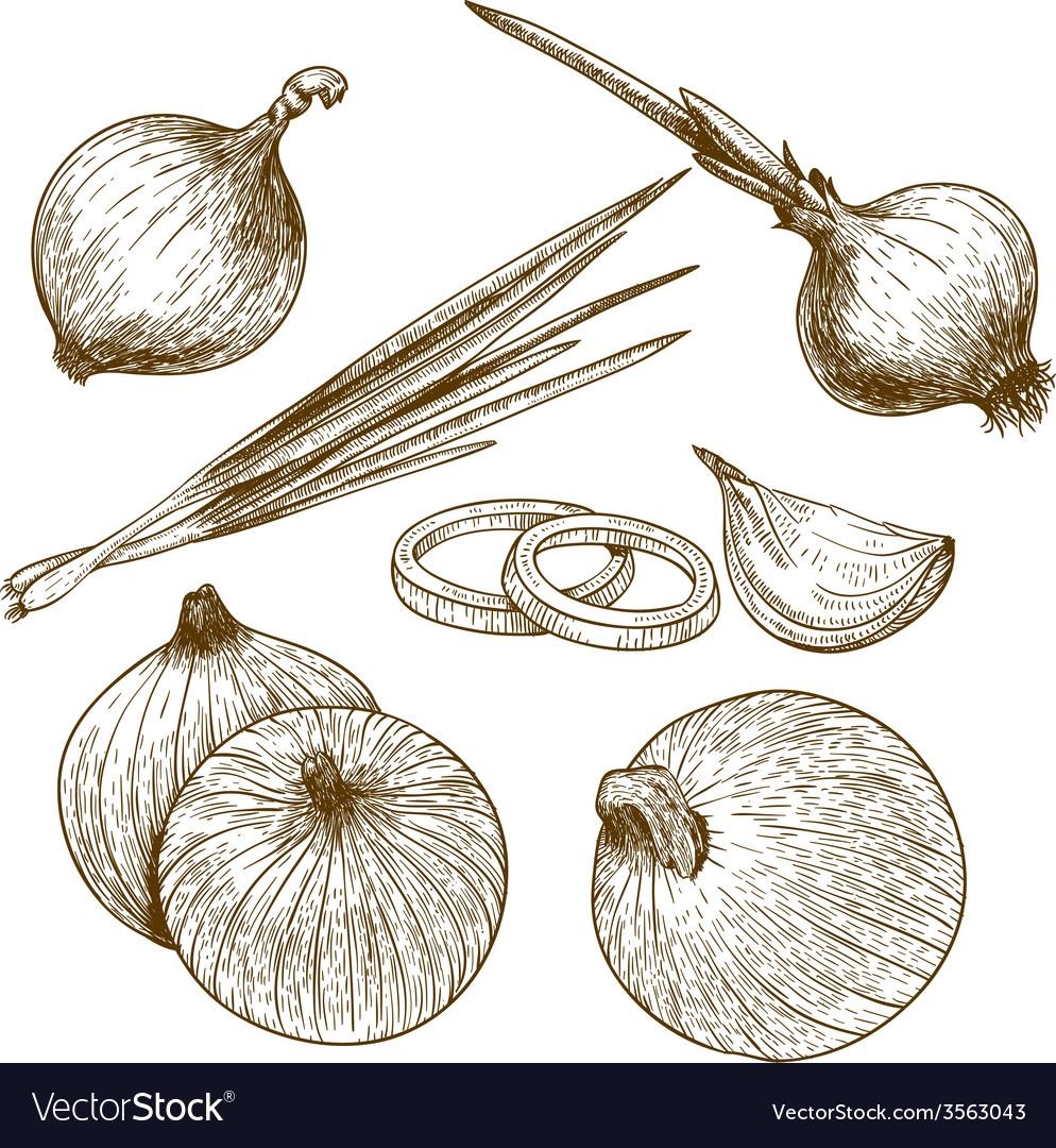 Engraving onion vector