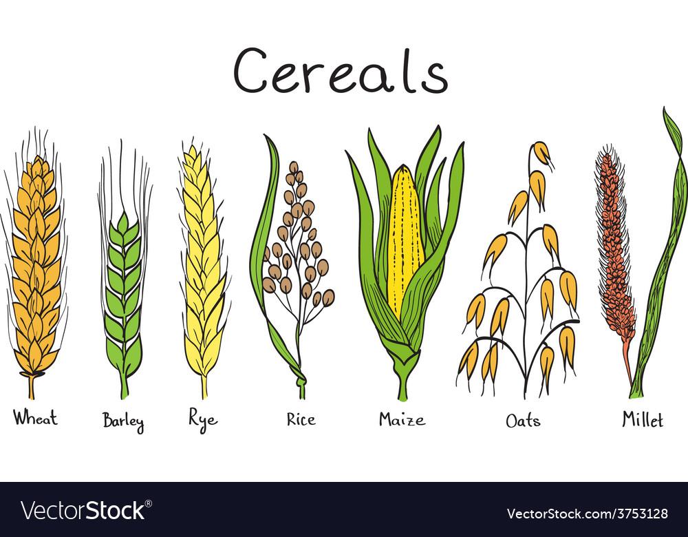 Cereals hand-drawn vector
