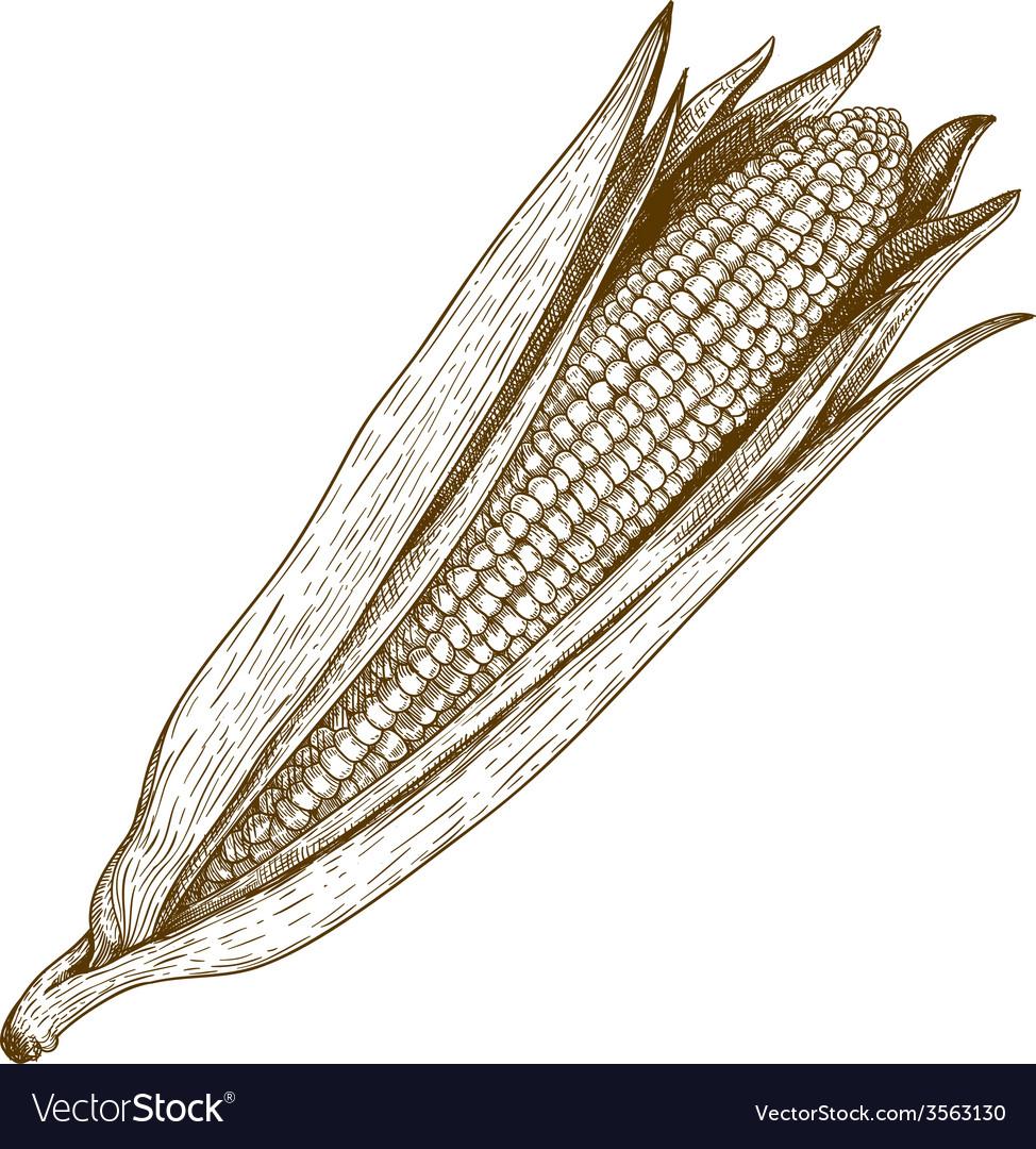 Engraving corn vector