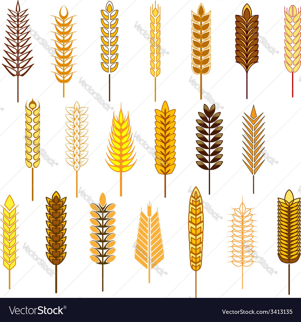 Ears of cereals and grains icons set vector