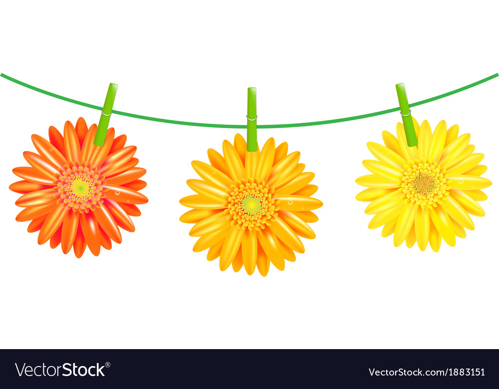 Gerbers flowers with clothespegs vector