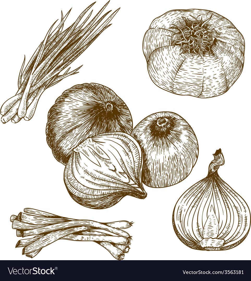 Engraving lots of onions vector
