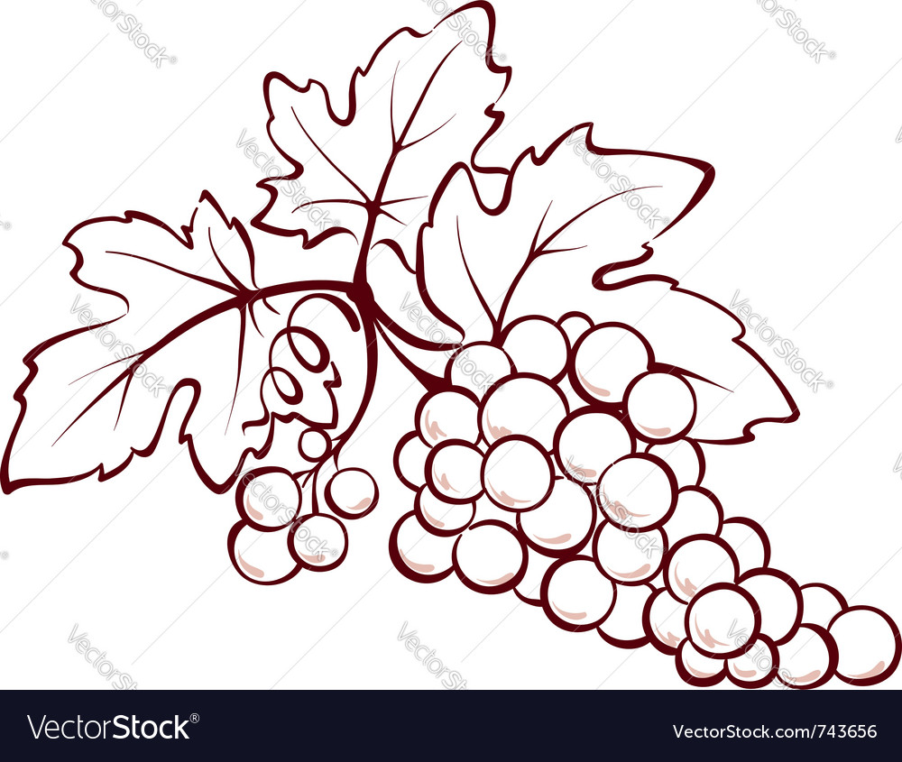 Bunch of grapes vector