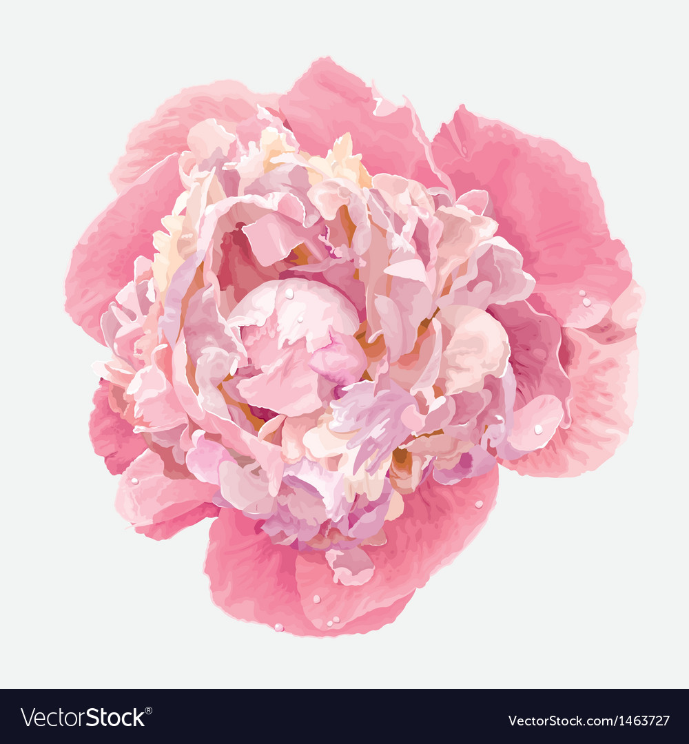 Pink peony vector