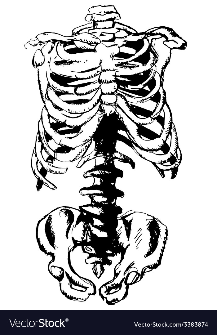 Hand drawn pelvic bone and rib vector