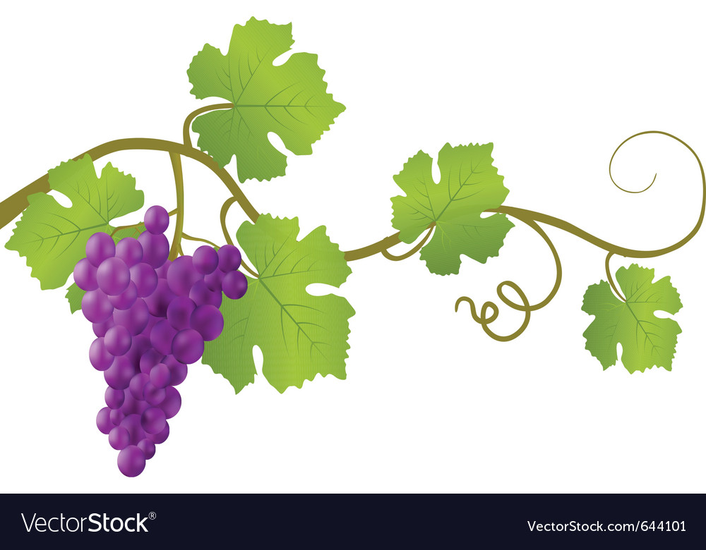 Red grape vine vector